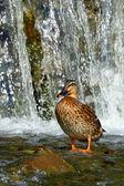 Duck bird — Stock Photo