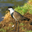 Lapwing — Stock Photo