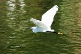 White Egret — Stock Photo