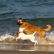 Stock Photo: Dogs in sea