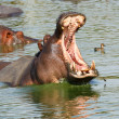 Hippopotamus — Stock Photo #7392523
