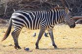 африканская зебра — Стоковое фото