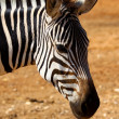 Zebra2 — Stock Photo