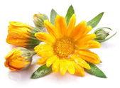 Caledula flowers. — Stock Photo