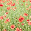 Field of wild poppy flowers. — Stock Photo #7533689