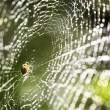 Spider on the web. - Stock Photo