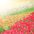 Royalty-Free Stock Photo: Field with colorful tulips