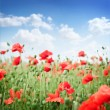 Field of wild poppy flowers. — Stock Photo #7672185