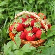 Wild strawberry in the basket on the grass. - Stock Photo