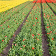 Tulips farm — Stock Photo