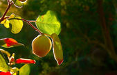 Quince Fruit On Tree — Stock Photo