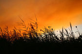 Reeds At Smokey Sunset — Stock Photo