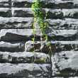 Green leaves of creeper plant on stone wall — Stock Photo