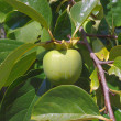Green fruit of persimmon in a twigs of tree — Stock Photo