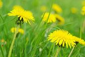 Spring dandelion — Stock Photo