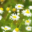 Royalty-Free Stock Photo: Flowers camomile