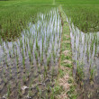 Water on the rice field — Stock Photo #7478335