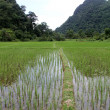 Water on the rice field — Stock Photo #7478341
