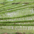Rice fields — Stock Photo #7625111