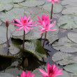 Stock Photo: Pink lotuses