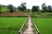 Wooden bridge and rice field — Stock Photo