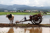 Cow and wooden cart — Stok fotoğraf