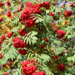 Rowan berry — Stock Photo #7650042