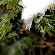 Icicle on pine tree — Foto Stock #7544122