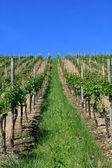 De wijngaarden — Stockfoto