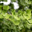 Ginkgo biloba tree - Stock Photo