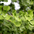 Ginkgo bilobtree — Stock Photo #7557551