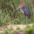 Goliath Heron - Stock Photo