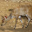 Young Bushbuck — Stock Photo