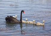 Swan and Cygnets — Stock Photo