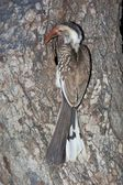 Red-Billed Hornbill — Stock Photo