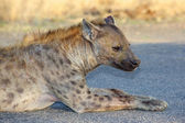 Spotted Hyaena — Stock Photo