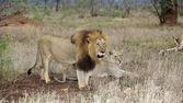 Lejon par — Stockfoto