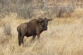 Blue wildebeest — Stockfoto