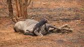 Wildebeest Carcass — Stock Photo