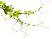 Vine on a white background — Stock Photo