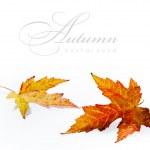 Orange hösten våt lönnlöv isolerad på vit bakgrund — Stockfoto