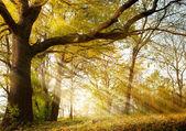 Viejo roble en el parque otoño — Foto de Stock