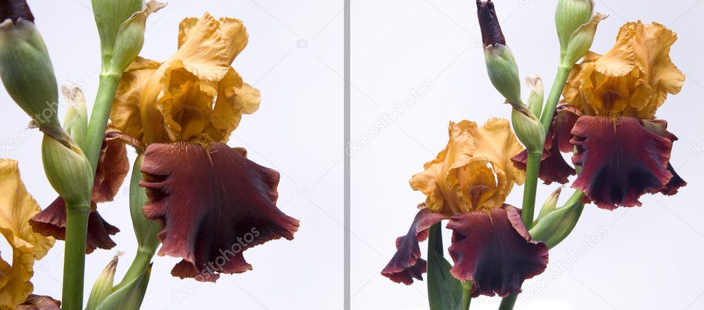 Bouquet of irises on a white background — Stockfoto #7526722