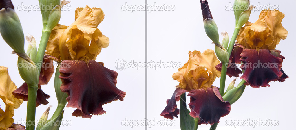 Bouquet of irises on a white background — Stock fotografie #7526722