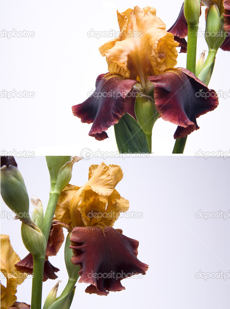 Bouquet of irises on a white background — Stock Photo #7526728