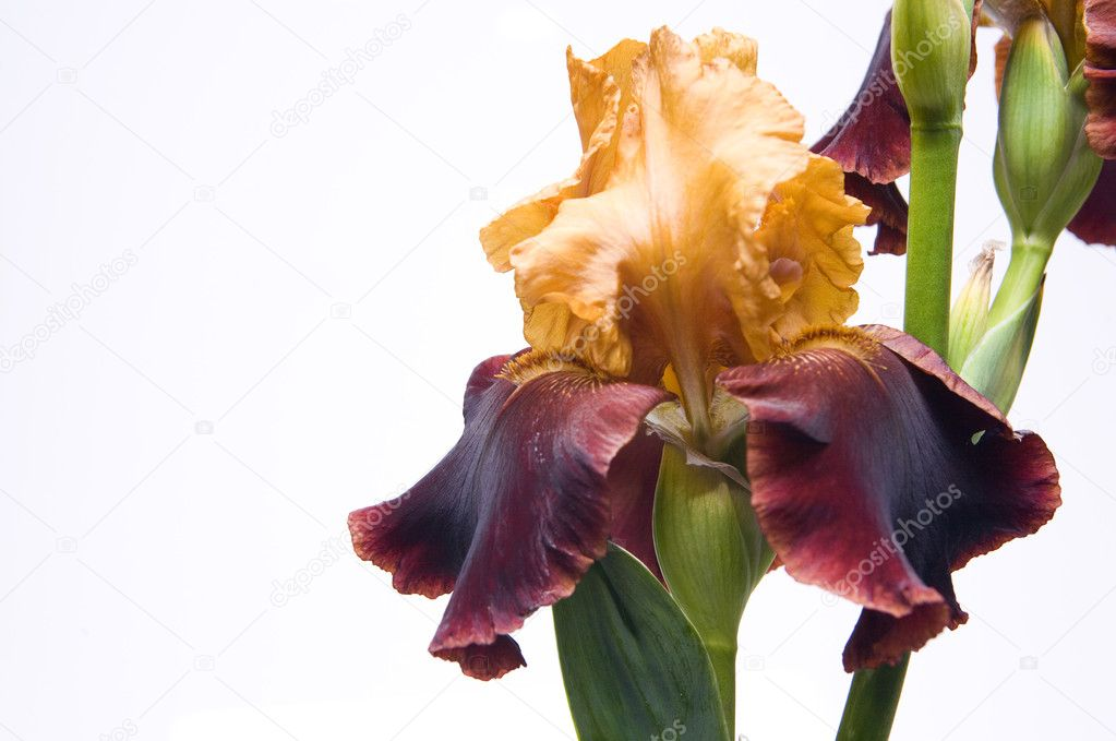 Bouquet of irises on a white background — Stock Photo #7526734