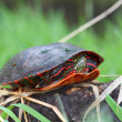 Painted Turtle (Chrysemys picta) — Stock Photo