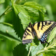 Tiger Swallowtail (Papilio glaucus) — Stock Photo