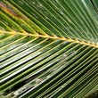 Stock Photo: Palm Frond Background