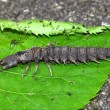 Hellgrammite - Dobsonfly larvae - Stock Photo